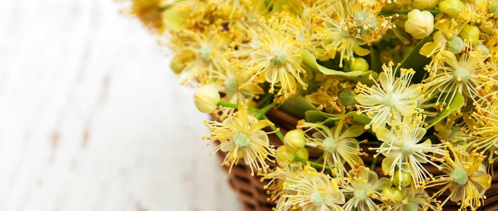 caj od lipe za kosu cvijet lipe cvet lipe za kosu sjaj kose zdravlje